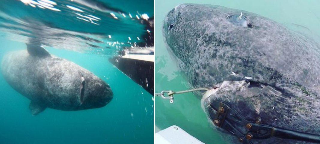 Um surpreendente tubarão de 512 anos é capturado por biólogos marinhos