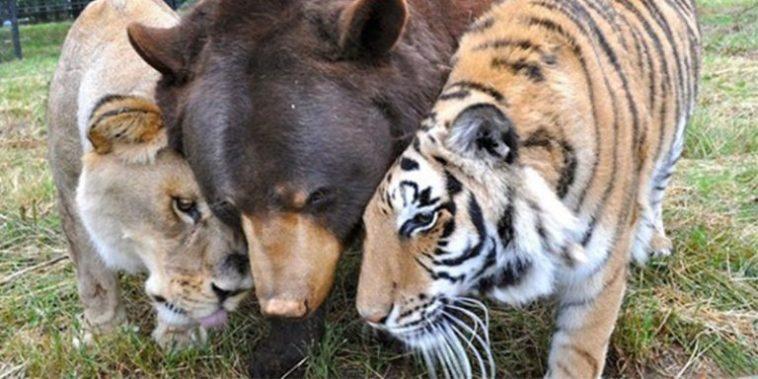 Amizade improvável de trio no reino animal já dura 15 anos. E eles não se largam um instante