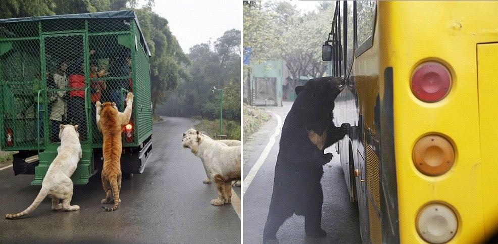 Conheça o zoológico onde as pessoas são enjauladas e pagam para alimentar ferozes predadores